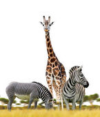 Photo Zebras and giraffe on white background. African animals living on the savanna.