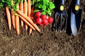 Gartengeräte Möhren und Rettich in der Erde. Gartenkonzept.