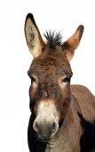 Photo Portrait of a donkey isolated on white background.