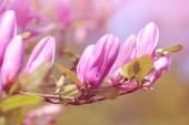 Jarní kvetoucí větev magnólie, přírodní květinové pozadí
