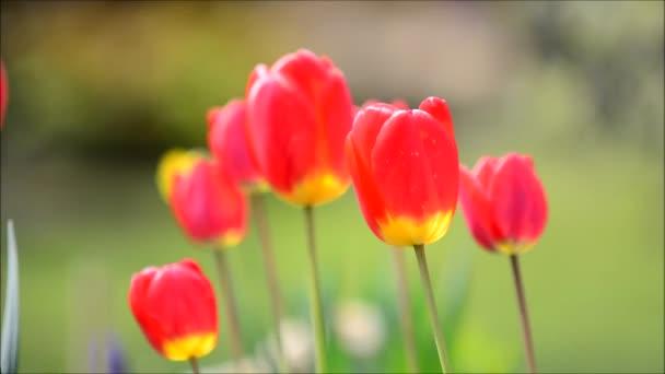 Kymácející červené tulipány