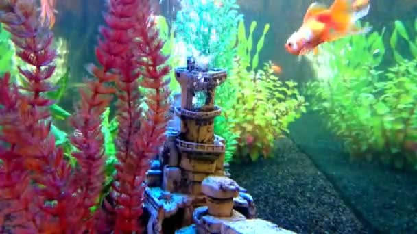 Egy édesvízi akvárium aranyhal úszó a kiadványról. Akvárium, víz alatti növények és hajótörés dekoráció.