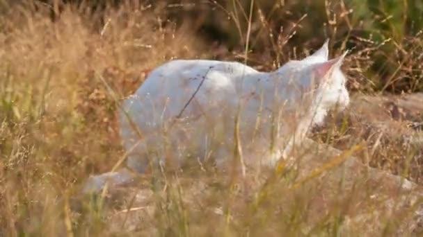 Maine Coon Biały Kot W Ten Niespodziewany Wideo Stockowe