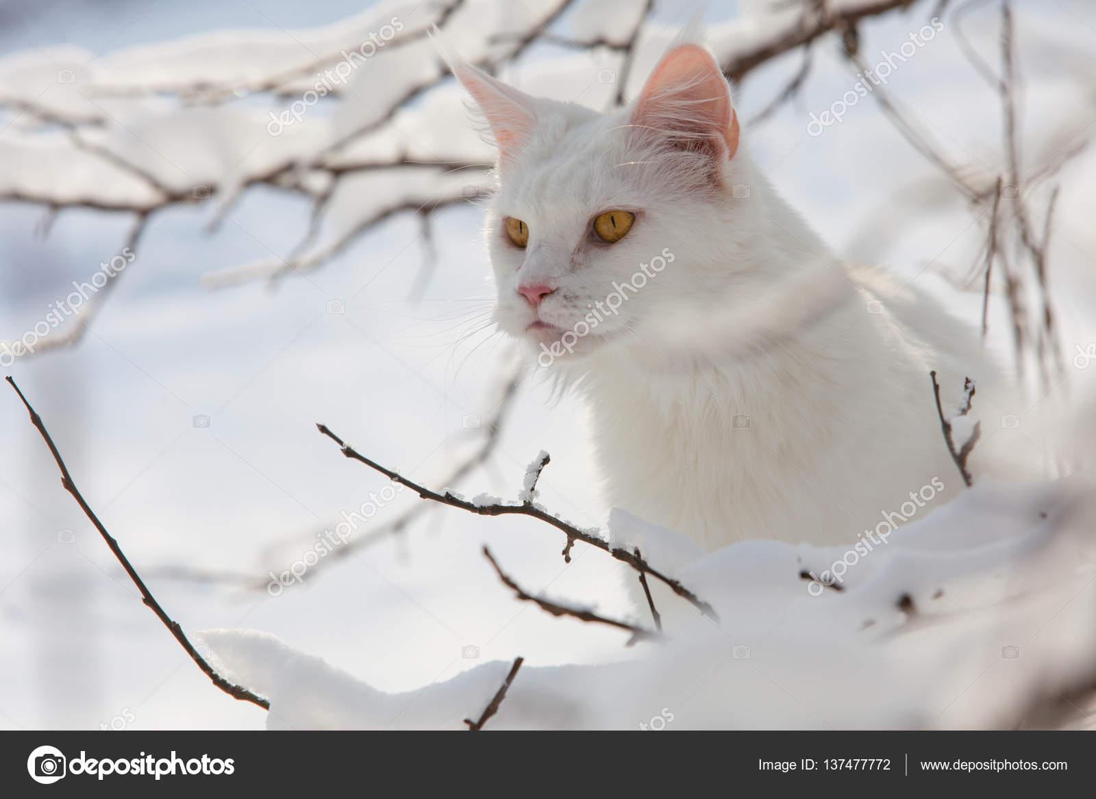 Kot Maine Coon Biały Dziki śniegu Zdjęcie Stockowe Amvrosii