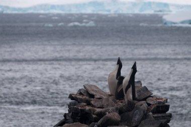 "Картина, постер, плакат, фотообои ""Пингвины Адели на острове Паулет"", артикул 158325950"