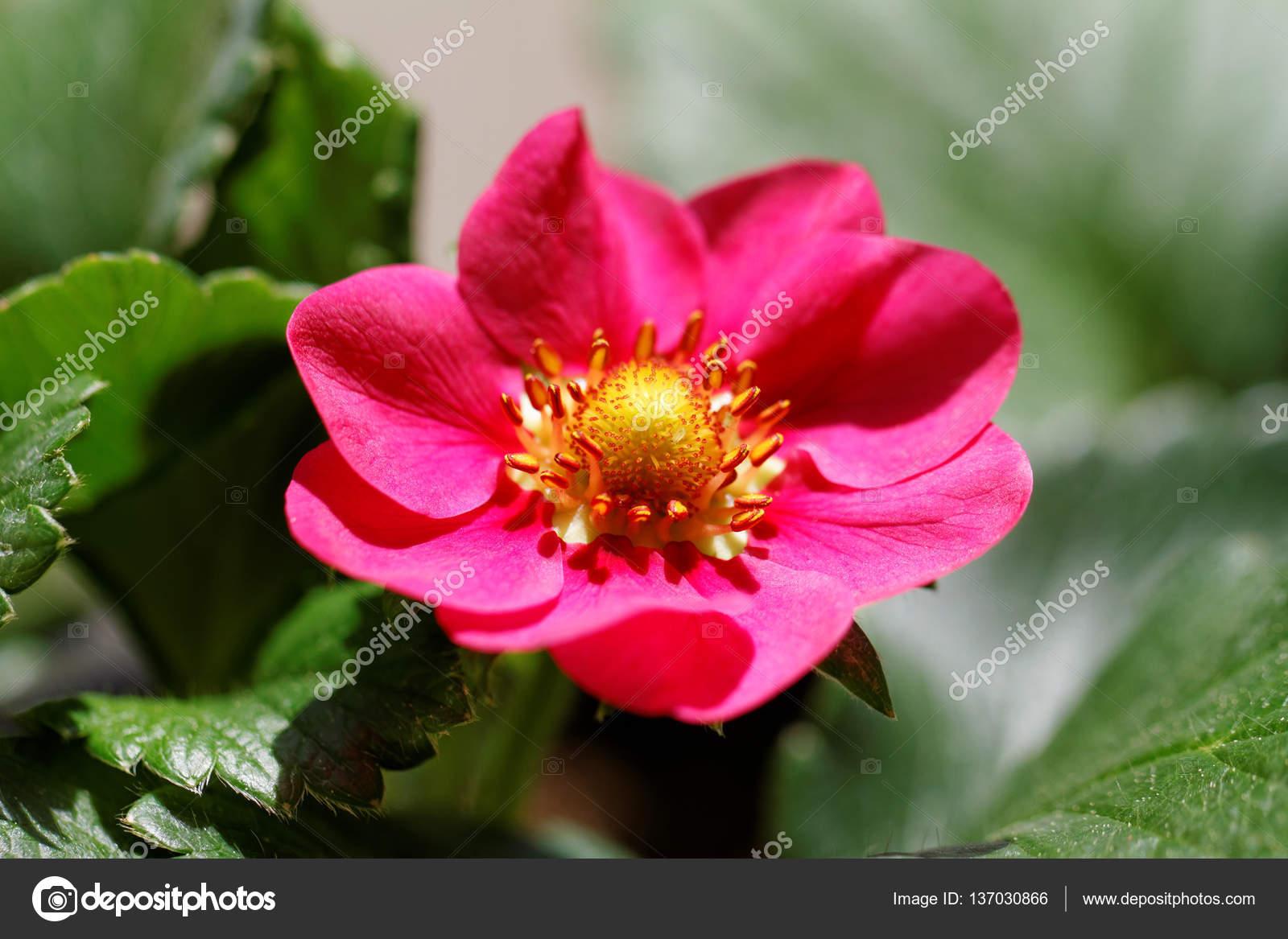 Pink Strawberry Flower Stock Photo Adrx 137030866