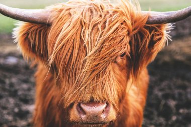 Classic Highland cow
