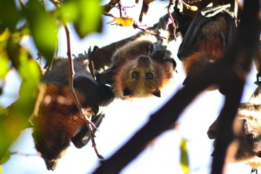 Flying foxes in the tree top