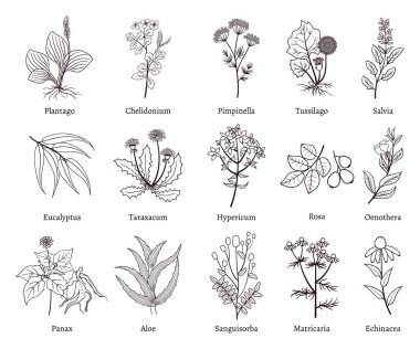 Medicinal herbs and plants doodle vector collection. Hand drawn herb for medicinal use, herbal plant sketch drawing illustration stock vector