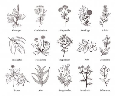 Medicinal herbs and plants doodle vector collection