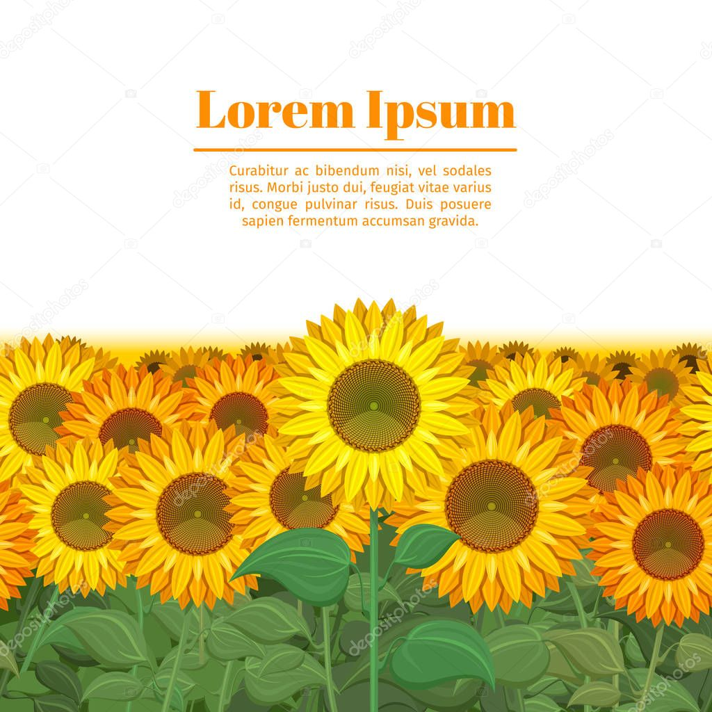 Sunflower field. Row of sunflowers vector illustration