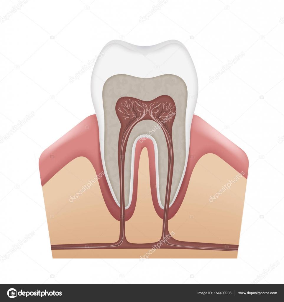 menschliche Zahnstruktur — Stockvektor © MSSA #154400908