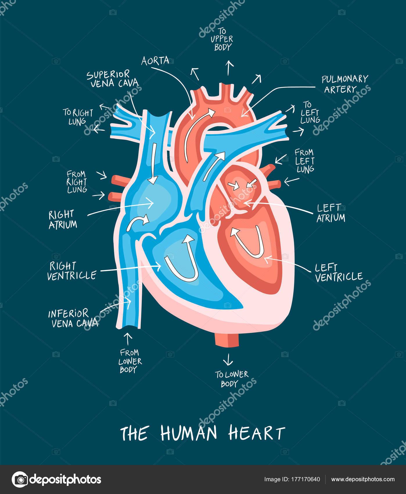 Mano dibuja la ilustración de la anatomía del corazón humano. Dia de ...