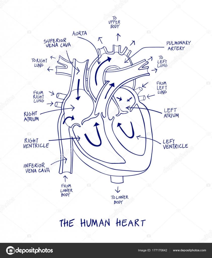 Dibujo de la anatomía del corazón humano en línea azul sobre un ...