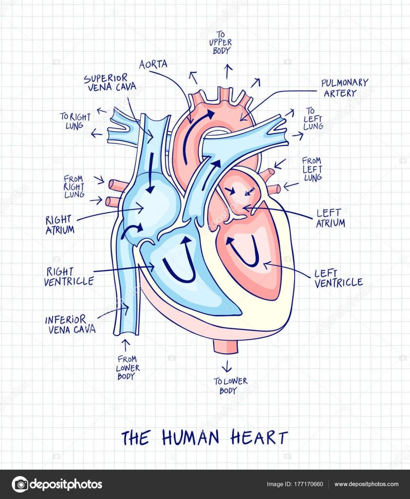 Esquema de anatomía del corazón humano, línea y color en un bac ...
