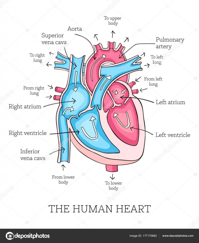 Handgezeichnete Abbildung der Anatomie des menschlichen Herzens ...