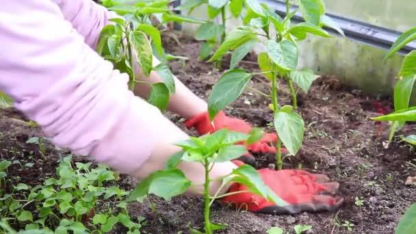 Koncept zahradničení a zemědělství. Žena dělnice z farmy, která pěstuje organické sazenice pepře. Skleníková produkce. Rostlinná výroba potravin. Chilli paprika rostlina pěstující ve skleníku