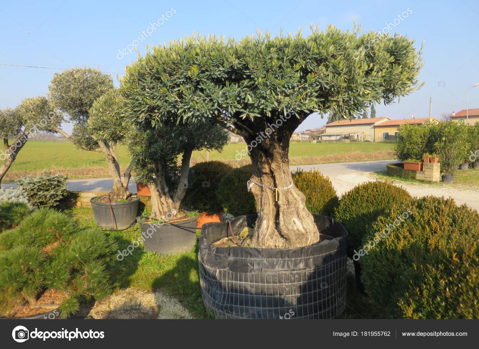 Secolare albero ulivo vaso vendita foto stock for Alberi in vendita