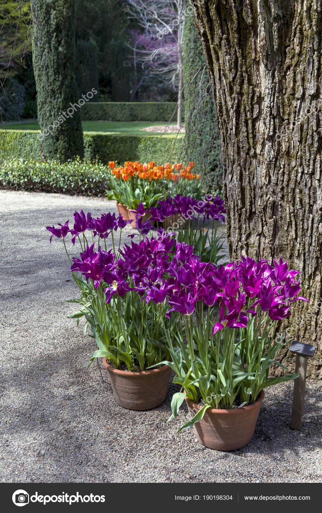 Arbres Et Tulipes Photographie Mmarfell 190198304