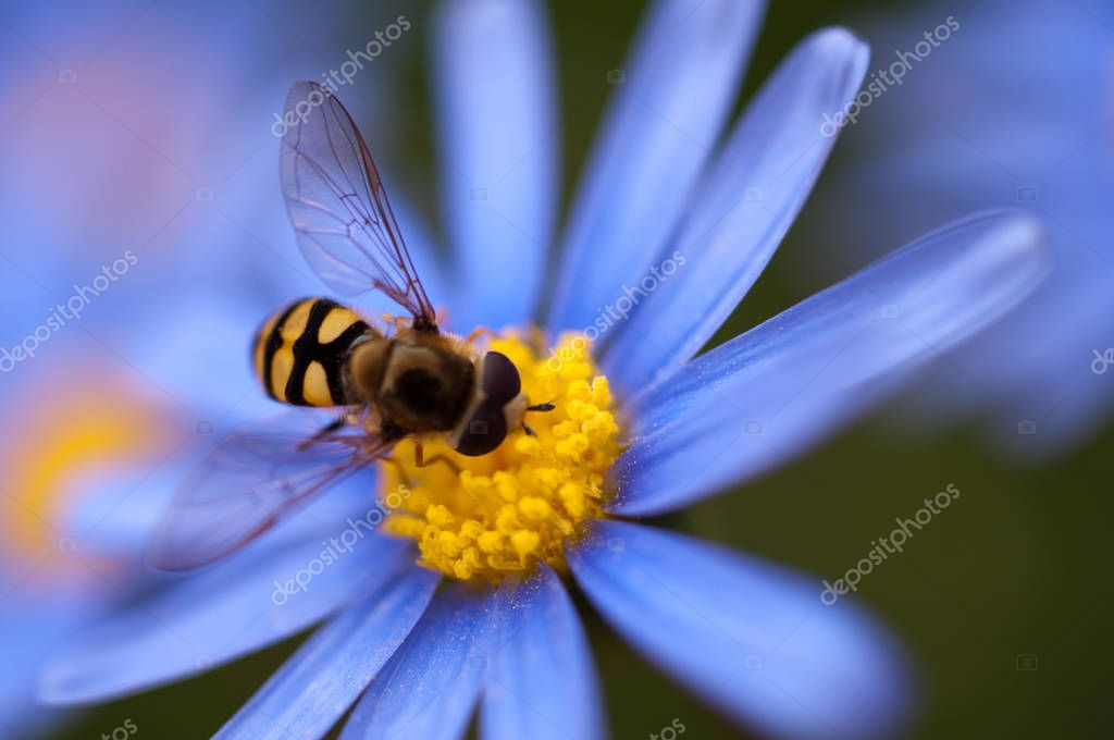 Close up of hoverfly