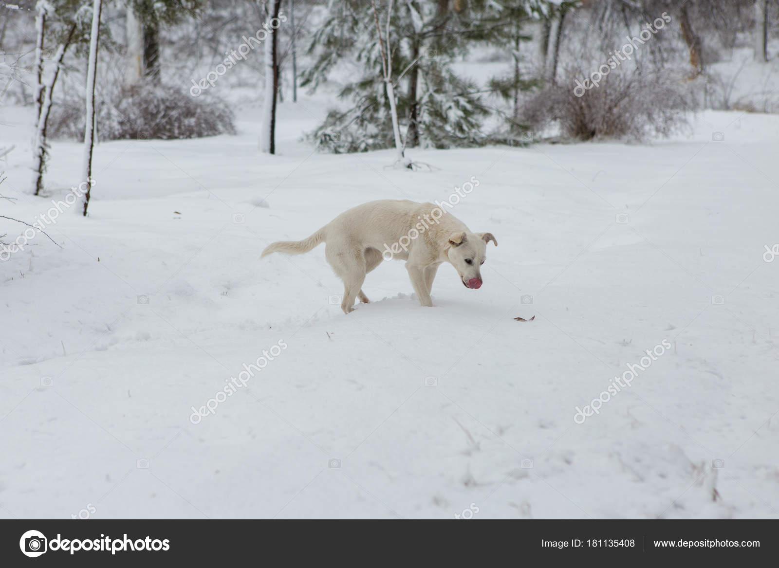 Schnee Lustige Bilder.Weisser Hund Spielen Schnee Lustige Doggy Wintermarchen