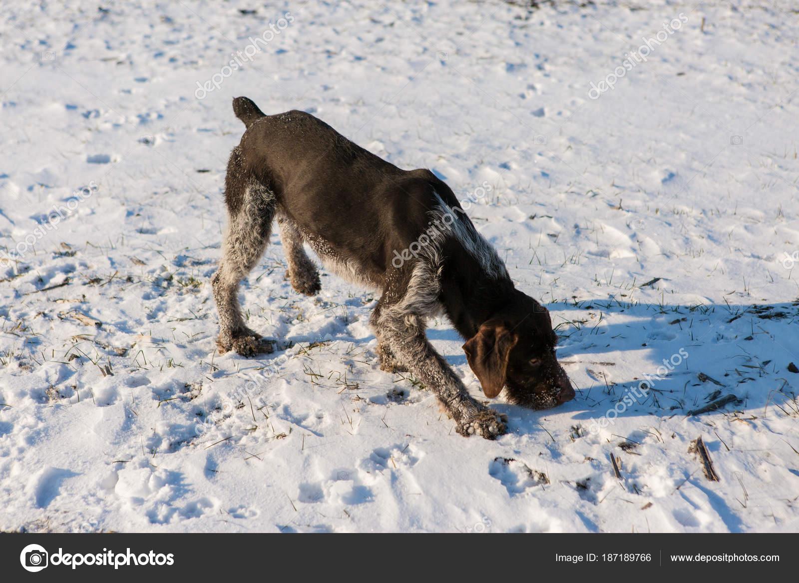 Hunting Drathaar Winter German Dog Taking Trail — Stock Photo ...