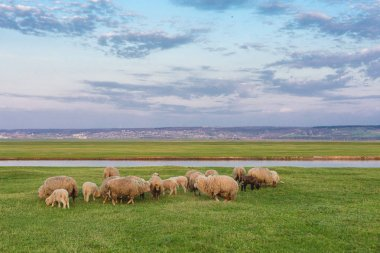 Sheep and goats graze on green grass in spring