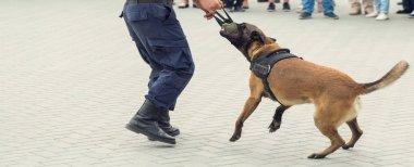 Malinois Belçikalı çoban köpeği sınırı koruyor. Sınır askerleri, köpeğin ihlalleri tespit edebilme yeteneğini gösteriyor..
