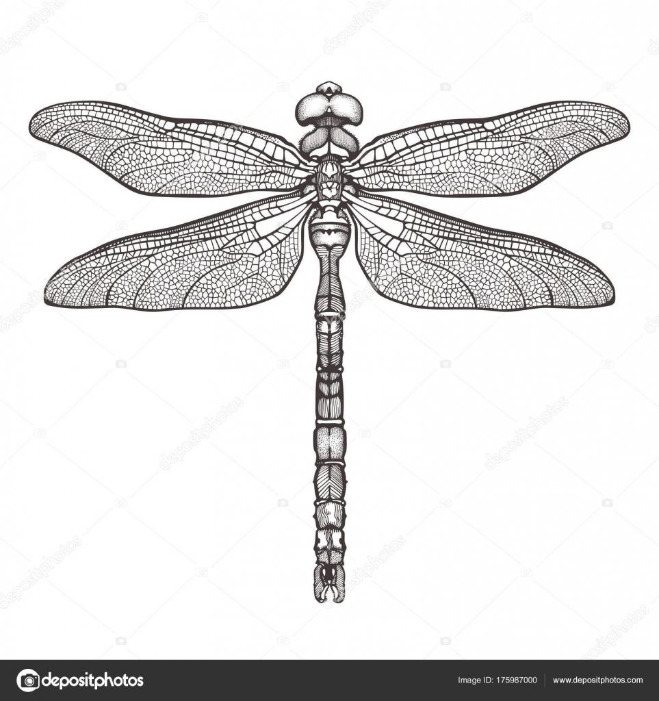 Negro libélula Aeschna Viridls, aislada sobre fondo blanco. Sketch ...