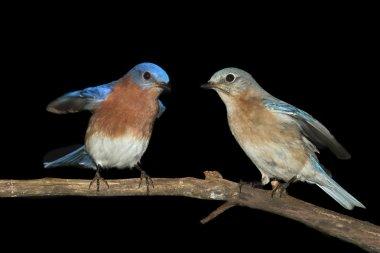 Pair of Eastern Bluebird on Black