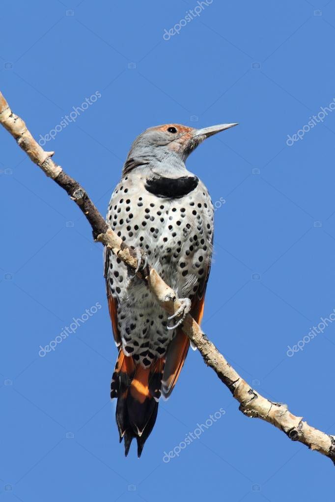 Northern Flicker (Colaptes auratus) Red-shafted