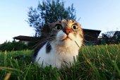 Srandovní kočka při pohledu z velké kulaté oči. Kočka těsně před útokem