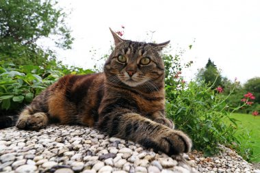 Wide angle view of an angry looking cat