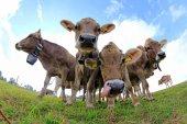 Zvědavý mladé hnědé dobytek na pastvě v Bavorsku