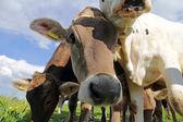 Fotografie Junge Neugierige Brown und Simmentaler Vieh auf der Weide