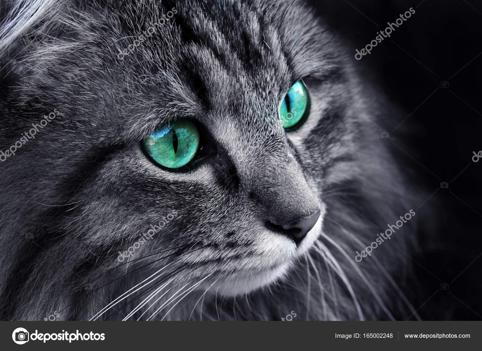 Il volto di un gatto norvegese della foresta con occhi for Gatto della foresta norvegese