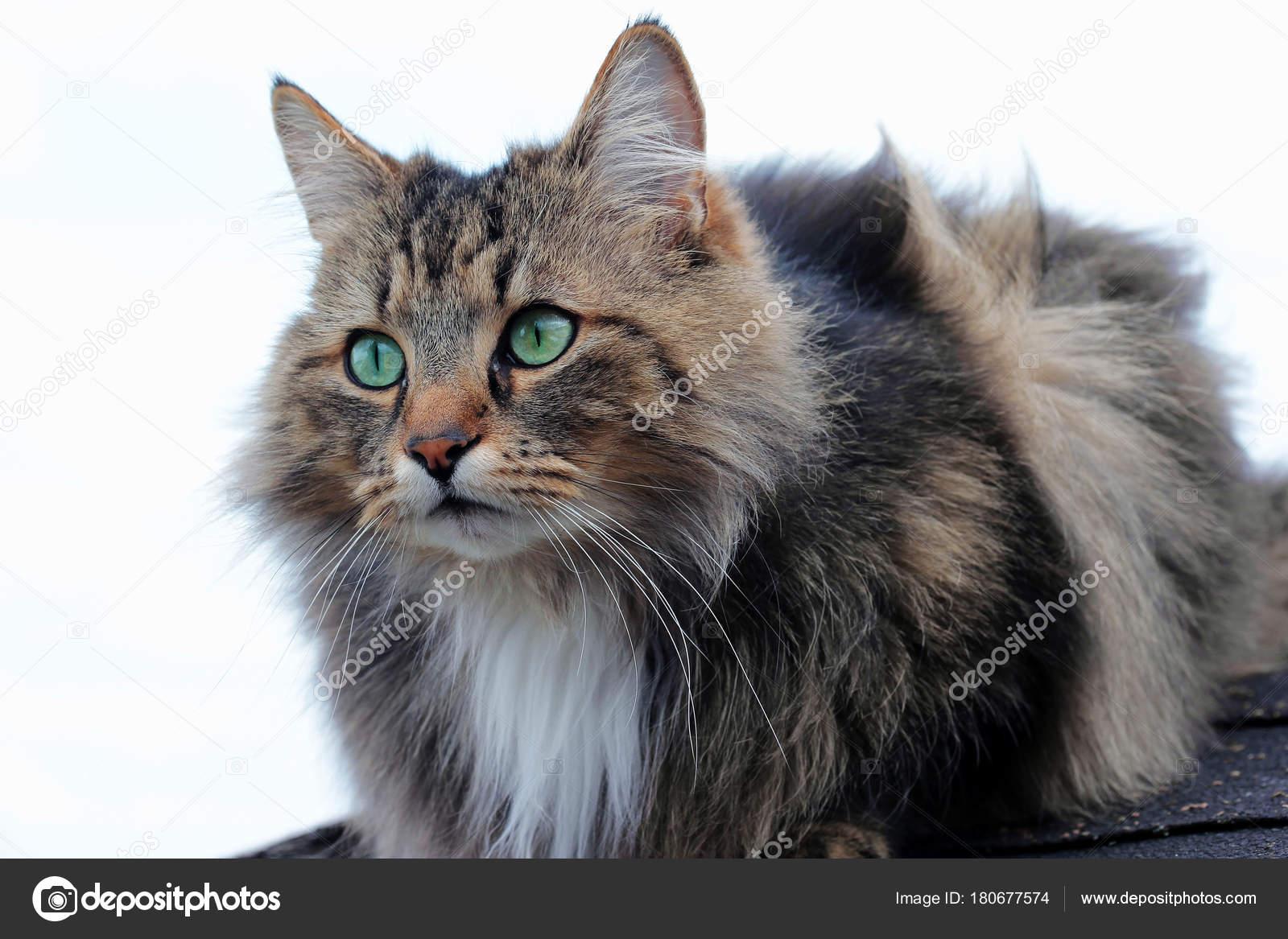 Bel marrone nero gatto norvegese della foresta con gli for Gatto della foresta norvegese