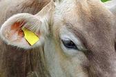Hlava a oči mladého hnědého skotu. Detail z dojné krávy
