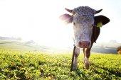 Mladá kráva Simmental stojí proti slunci na louce
