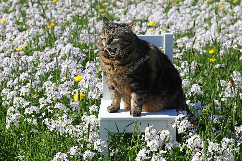 A small fat cat sits with a funny facial expression on a chair in the flower meadow