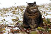 Malá tlustá kočka sedí na podlaze s legračním pohledem v zimě
