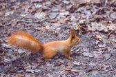 Fotografie Little cute  squirrel   in a forest.