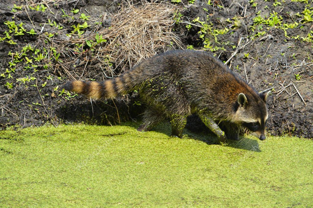 A Raccoon searching for food in Largo, Florida USA