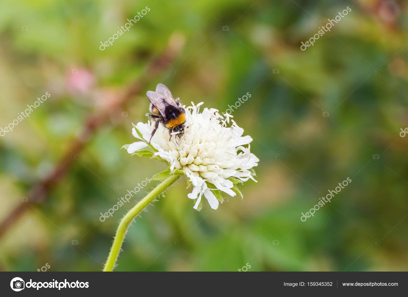100% authentic 6cb58 59275 Weiße Blume mit einer Hummel — Stockfoto © TischenkoPhoto ...