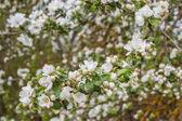 Apple květ