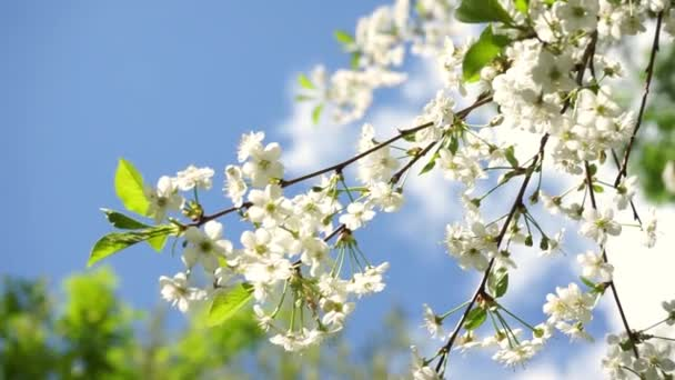beautiful blossom cherry branch swings in wind on sunny spring day