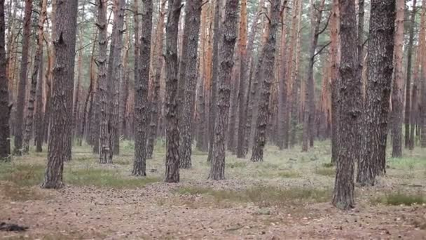 Woods smrčinu v lese