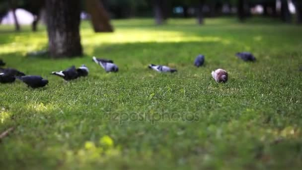 Pigeons looking for food on a green grass