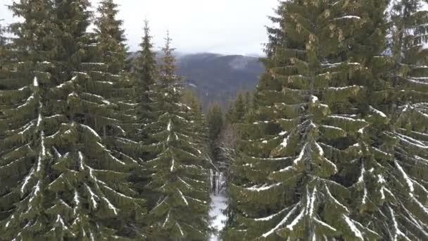 Krásný smrk lesní v Karpatských horách v zimě