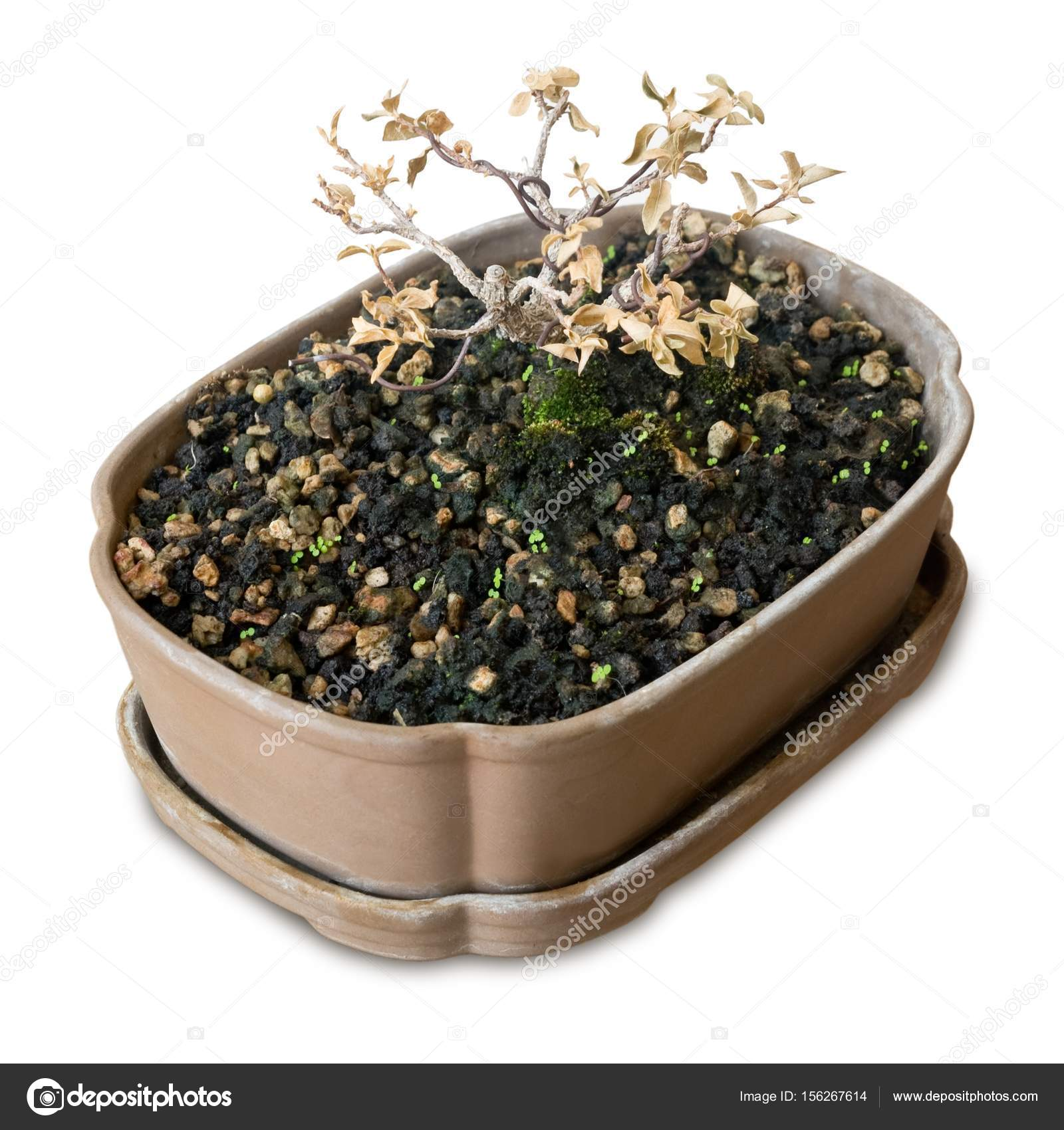 Dry Bonsai Tree In Plastic Pot On White Background Stock Photo C Arayabandit 156267614